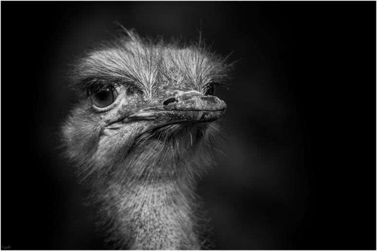 struisvogel ZW-1