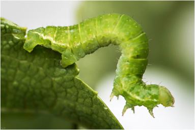 herfstspanner (Epirrita dilutata)-2