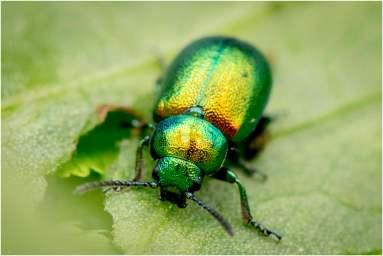 Het groen zuringhaantje (Gastrophysa viridula)-2