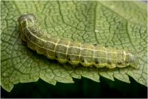 kleine wintervlinder (rups)-3