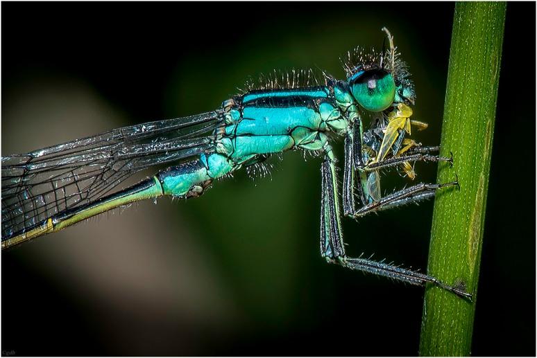 Etende Libelle