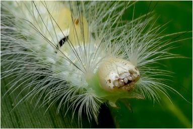 De meriansborstel (Calliteara pudibunda)-4