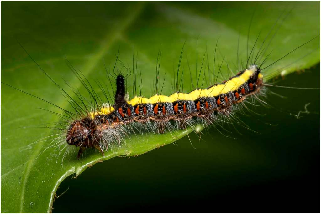Psi-vlinder-rups (4)