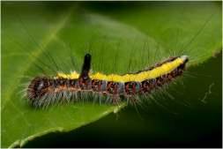 Psi-vlinder-rups (6)