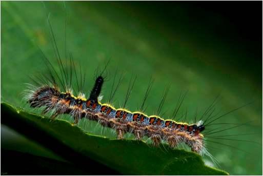 Psi-vlinder-rups (8)