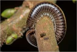 Brede kronkel (Cylindroiulus caeruleocinctus)-2