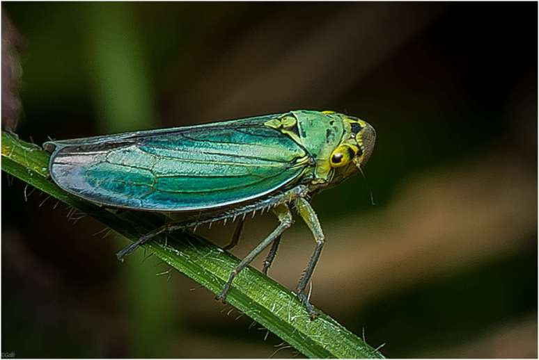 De groene cicade (Cicadella viridis)