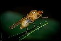 drosophila funebris-2
