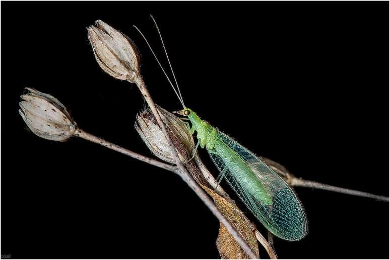 Het Goudoogje (Chrysoperla carnea)