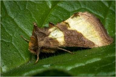 Koperuil - Diachrysia chrysitis Linnaeus-1