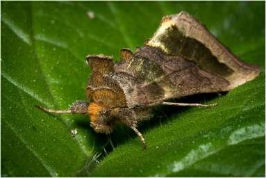 Koperuil - Diachrysia chrysitis Linnaeus-2