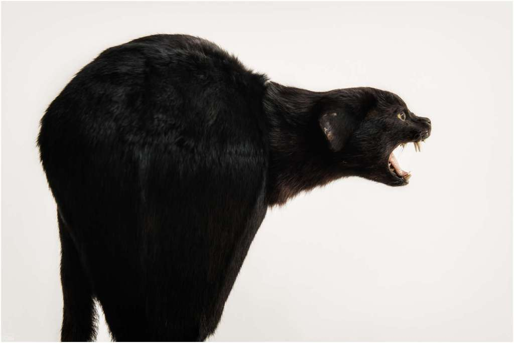 Zwarte kat-1