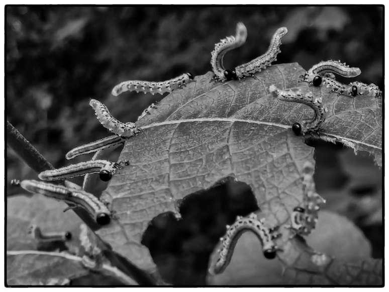 Dance of the caterpillar