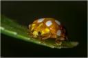 Lieveheersbeestje halsschild