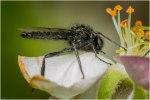 Maartse vlieg (Bibiomarci)-1