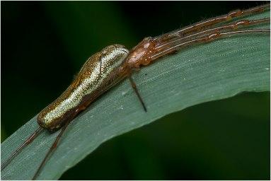 Strekspinnen(Tetragnatha extensa)