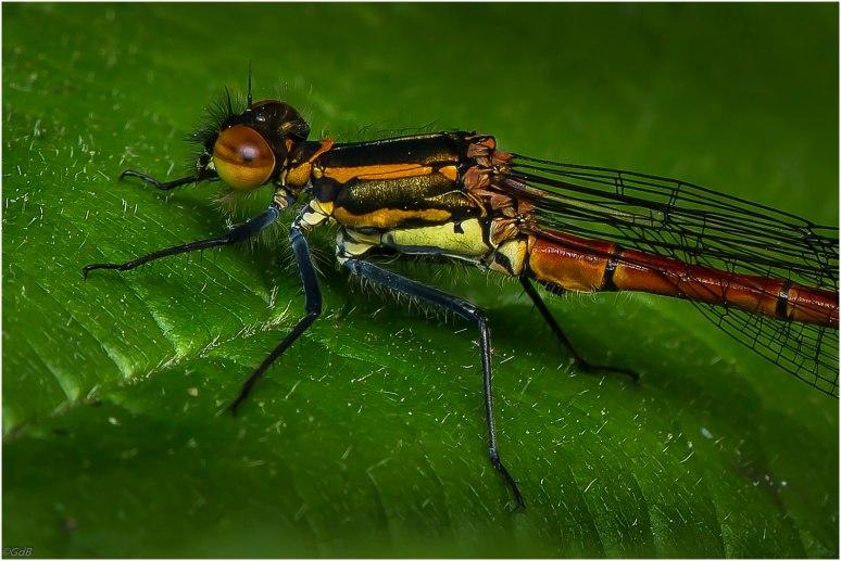 Vuurjuffer (Pyrrhosoma nymphula) (vrouwtje)-1