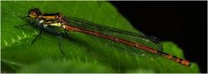 Vuurjuffer (Pyrrhosoma nymphula) (vrouwtje)-2