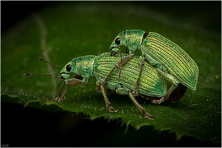 Groene bladsnuitkevers