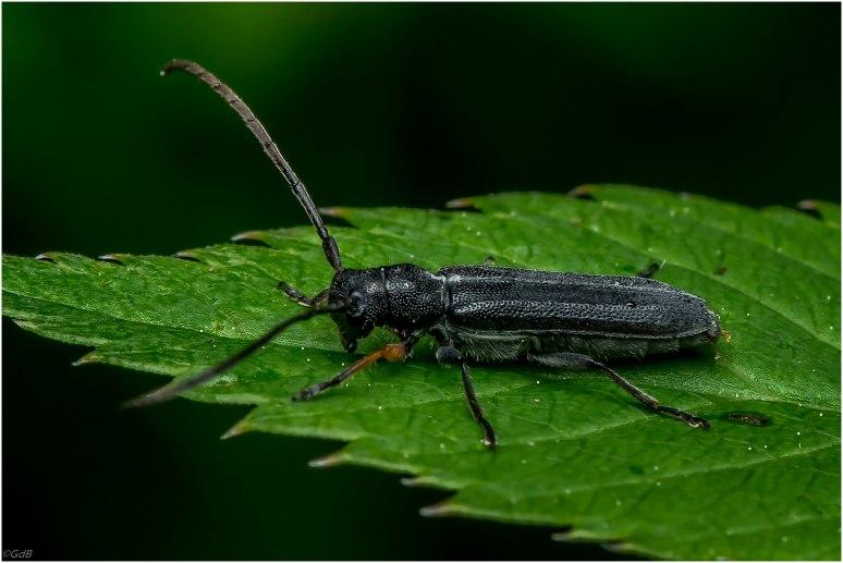 Oedemeridae - schijnboktor