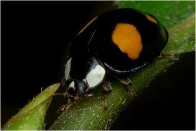 Lieveheersbeestje-1