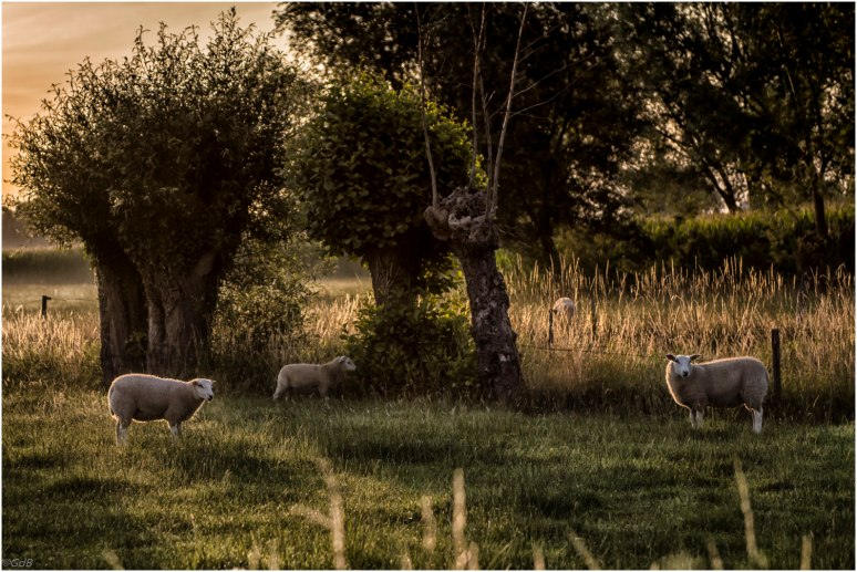 Sheep 2-1