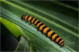 Sint Jacobs vlinder rups-2