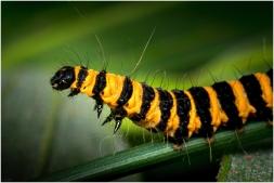 Sint Jacobs vlinder rups-3