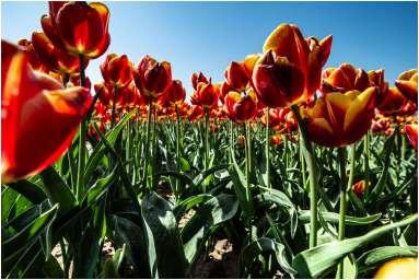 Tulpen-9