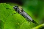 zwarte dansvlieg – empisciliata