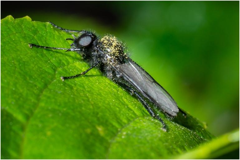 zwarte dansvlieg - empis ciliata